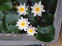Pond Lilies ~£10 Each