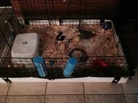 Breeding pair of guinea pigs