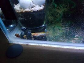 Black Mollies £1 each...gold killi Fish fish £2 each