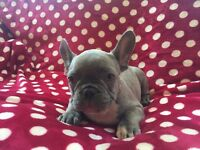 Lilac French Bulldogs for sale!