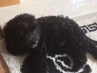 Black cockerpoo puppy's