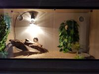 Baby Bearded Dragon and full set up.
