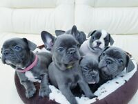 blue french bulldogs puppies carrying tan KC registered