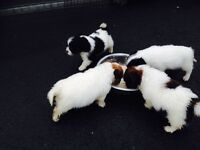 Miniature Jack Russell cross shihtzu puppies for sale