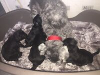 Beautiful Schnoodle Puppies!