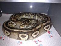 Female royal pythons