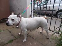 staffy found in E17, white female dog