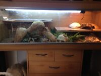 2 bearded dragons and complete set up