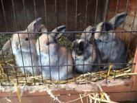 Pure mini lop baby rabbits