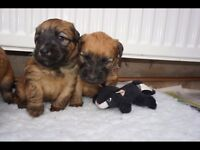 Pedigree Soft coated wheaten terriers for sale