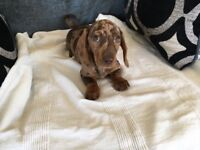 Gorgeous Miniature Smooth Haired Dachshund puppies