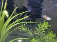 Home bred mixed colours endler guppies