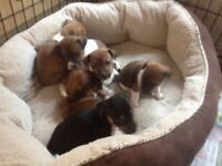 jack Russell puppies small type