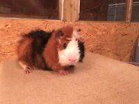 Tri coloured Abyssinian guinea pig male