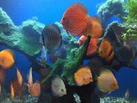 discus fish , tropical aquarium tank fish