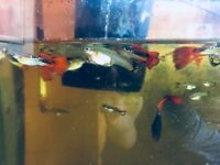 Guppies to rehome, all ages to give away