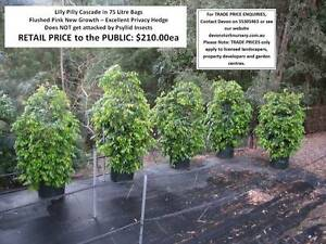 Lilly Pilly Cascade Assorted Sizes - Large Size Reduced! HS055 Mudgeeraba Gold Coast South Preview