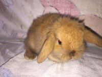 STUNNING CHOC TORTE MINI LOP RABBITS - AVAILABLE NOW