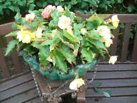 """Large Begonia Hanging Baskets 16"""""""