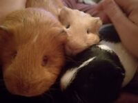 Sad sale of 3 sister guinea pigs, 1 years old, looking for new home due to allergies :(