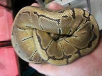 1.5 year old male pinstripe ball python for sale