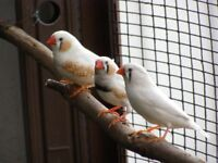 Young Zebra Finches