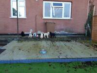 Labrador retriever pups