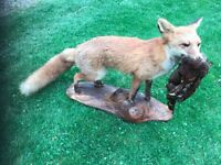 TAXIDERMY HANDSOME FOX WITH PHEASANT IN HIS MOUTH