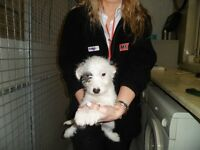 jackapoo puppies, microchipped,