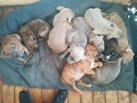 Stunning blue Brindle puppies