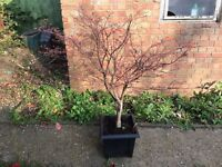 Red Acer Tree - 122cm tall potted in 32cm wide pot