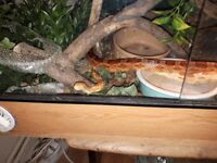 2 corn snakes one female one male they are healthy and friendly pets