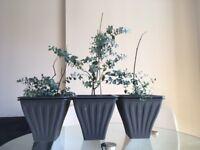 3X Cider Gum - or Eucalyptus Gunnii or Ironbark- (24cm pots - 3 house plants)