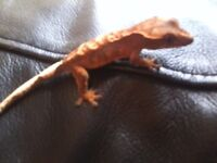 crested gecko hatchlings