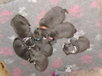 Blue KC Staffordshire bull terrier puppies