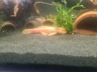 Male and Female sub adult Lemon shortfin pair
