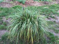 Large Grass
