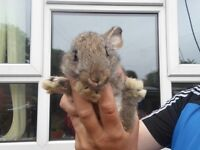 french lop giants