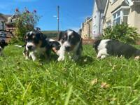 Jollie puppies for sale (Jack Russel x Collie)