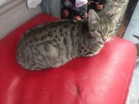 2 female bengal cross cats for sale