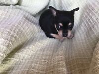 Beautiful Chihuahua pups for sale
