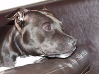 2 staffordshire bull terriers