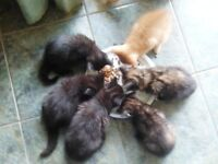 3 x Kittens for sale