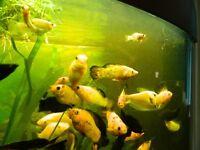 free tropical fish mollies