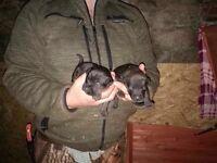 Paterdale puppys