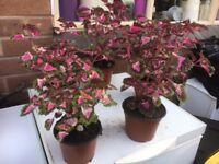Colius houseplants