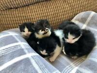 Half British Kitties
