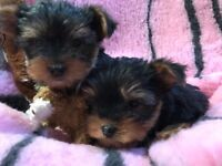 Mini yorkie puppies