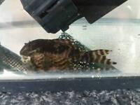 Pleco fish free good home