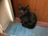 Female Kittens, 9 weeks old, Litter trained, Very playful